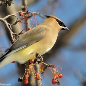 Cover art for Cedar Waxwings - Sleek and Handsome