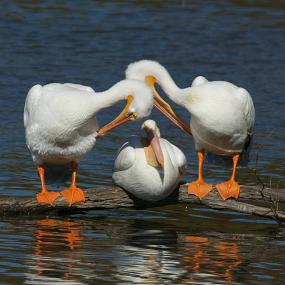 Cover art for American White Pelicans