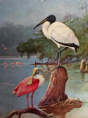 Cover art for 6. Forking with Spoonbills (Roseate Spoonbill)