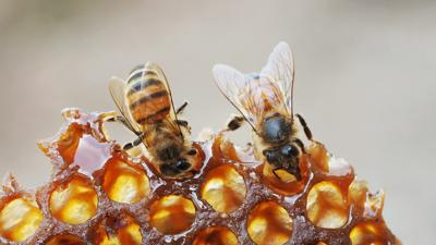 Cover art for Honeybees Need Your Help