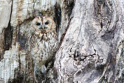 Cover art for Northern Spotted Owl