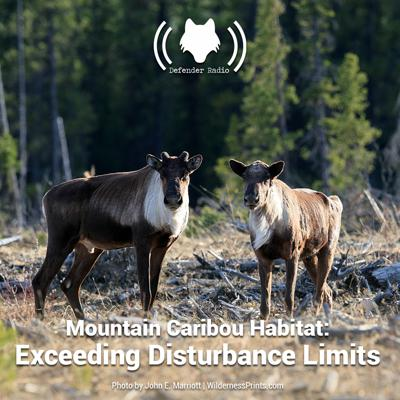 Cover art for Mountain Caribou Habitat: Exceeding Disturbance Limits
