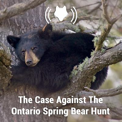 Cover art for The Case Against The Ontario Spring Bear Hunt