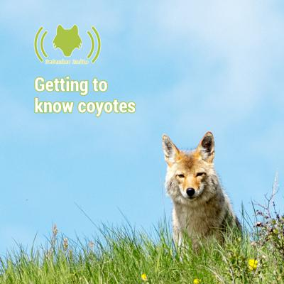 Cover art for Getting to know coyotes